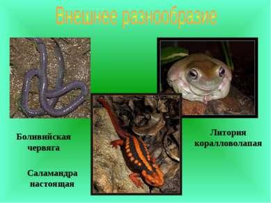 Литория коралловолапая Боливийская червяга Саламандра настоящая