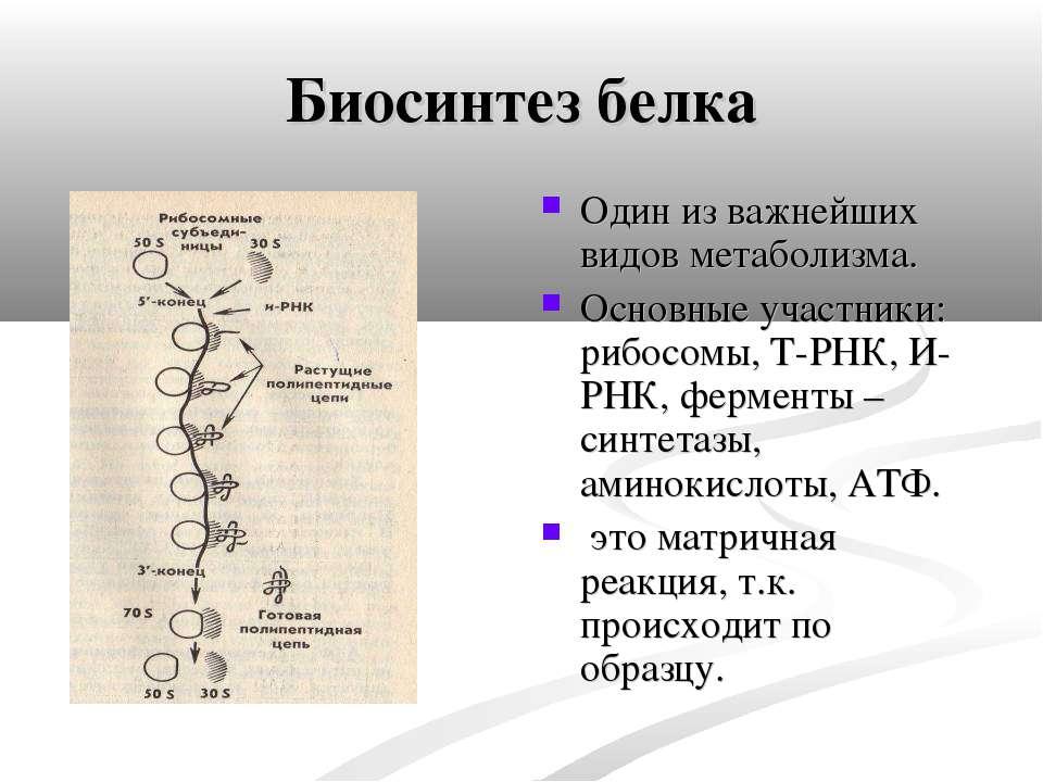 Биосинтез белка Один из важнейших видов метаболизма. Основные участники: рибо...