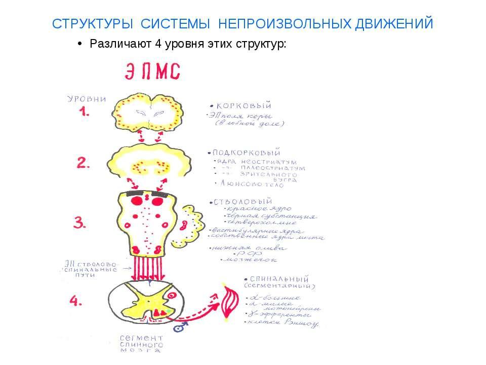 СТРУКТУРЫ СИСТЕМЫ НЕПРОИЗВОЛЬНЫХ ДВИЖЕНИЙ Различают 4 уровня этих структур: