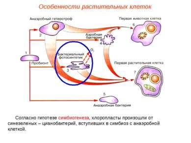 Согласно гипотезе симбиогенеза, хлоропласты произошли от синезеленых – цианоб...