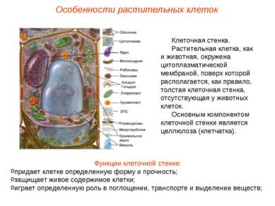 Клеточная стенка. Растительная клетка, как и животная, окружена цитоплазматич...