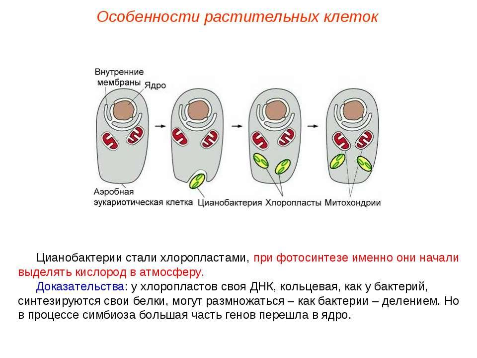 Цианобактерии стали хлоропластами, при фотосинтезе именно они начали выделять...