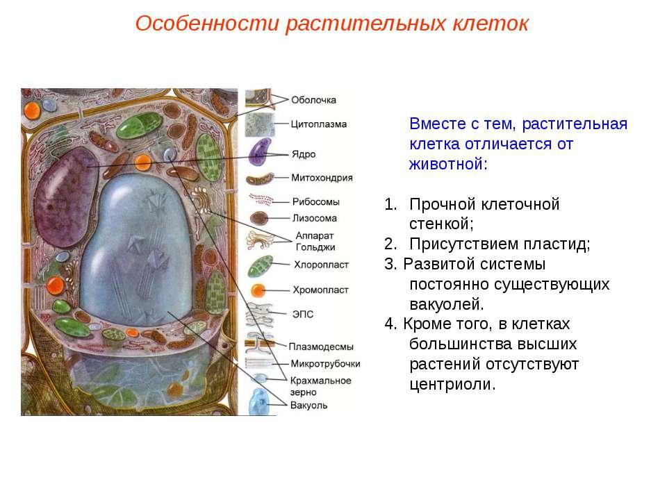 Вместе с тем, растительная клетка отличается от животной: Прочной клеточной с...