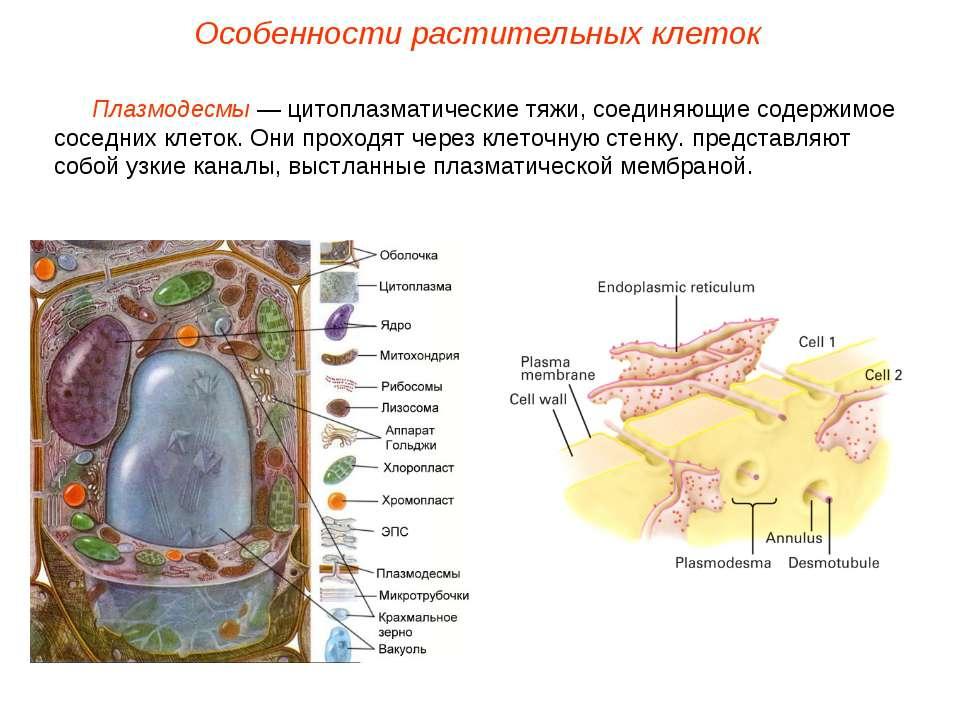 Плазмодесмы — цитоплазматические тяжи, соединяющие содержимое соседних клеток...