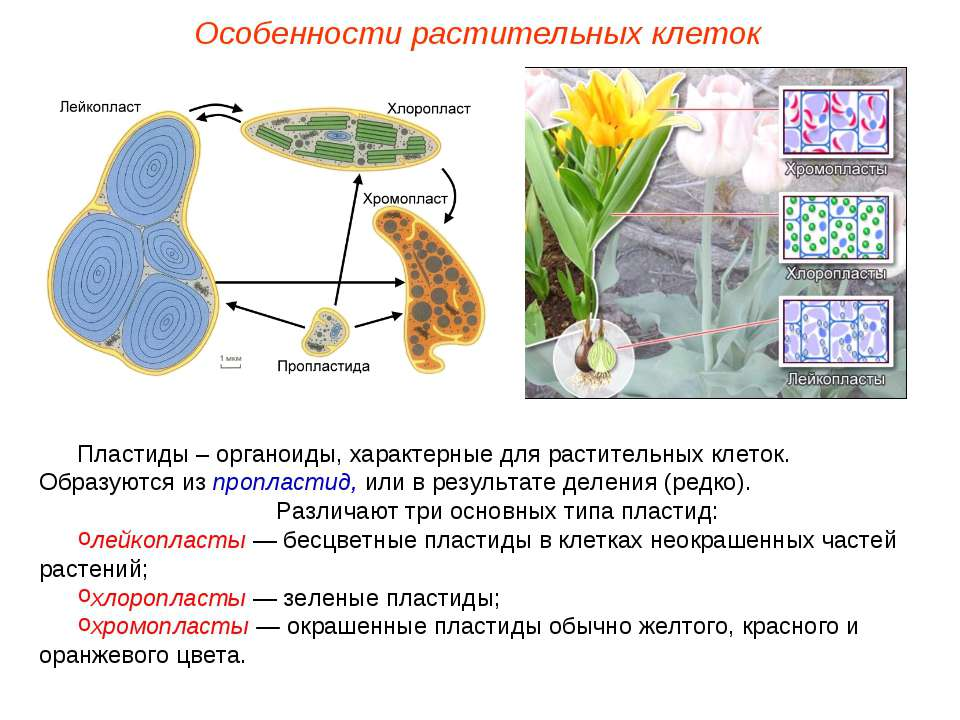 Пластиды – органоиды, характерные для растительных клеток. Образуются из проп...