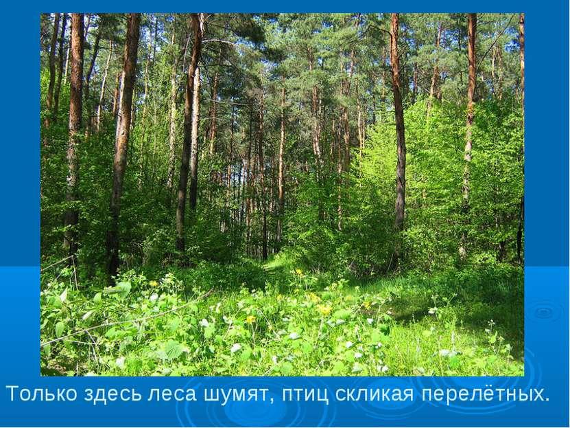 Только здесь леса шумят, птиц скликая перелётных.