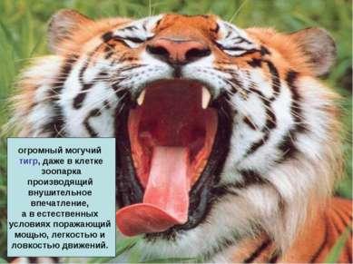 огромный могучий тигр, даже в клетке зоопарка производящий внушительное впеча...