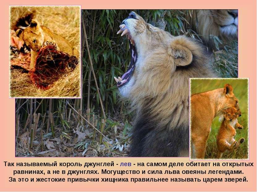 Так называемый король джунглей - лев - на самом деле обитает на открытых равн...