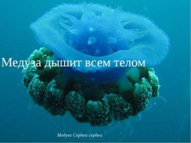Медуза дышит всем телом Медуза Cephea cephea