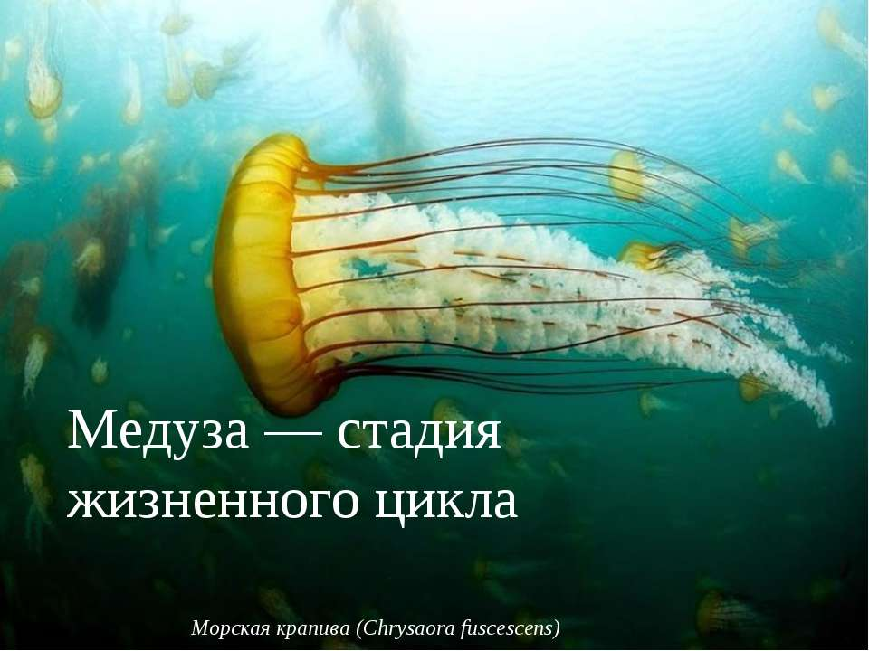 Медуза— стадия жизненного цикла, характерная для стрекающих Морская крапива ...