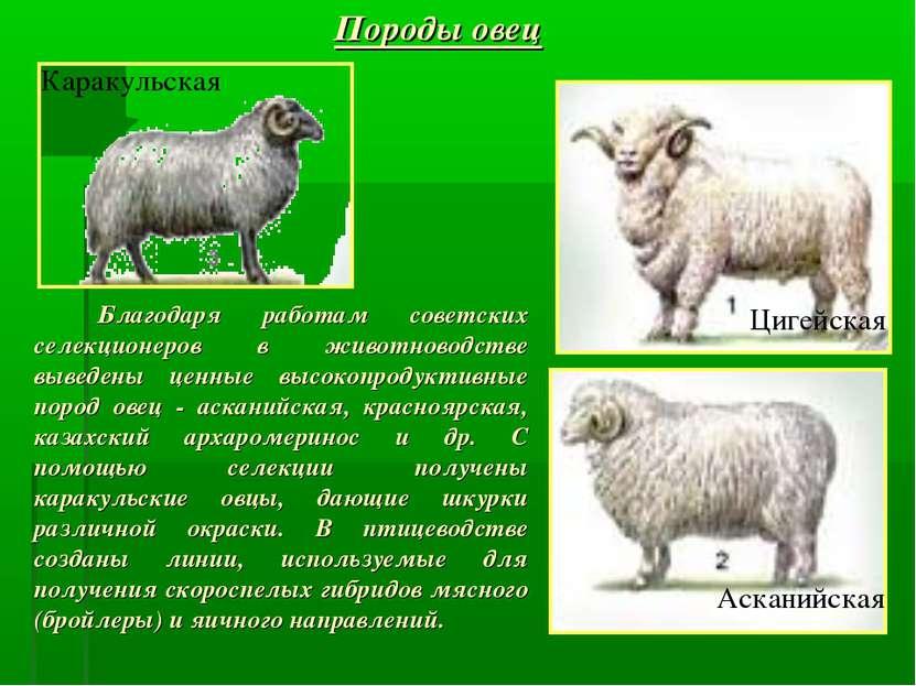 Породы овец Благодаря работам советских селекционеров в животноводстве выведе...