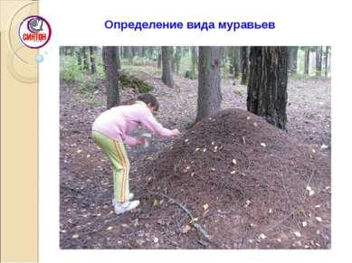 Определение вида муравьев