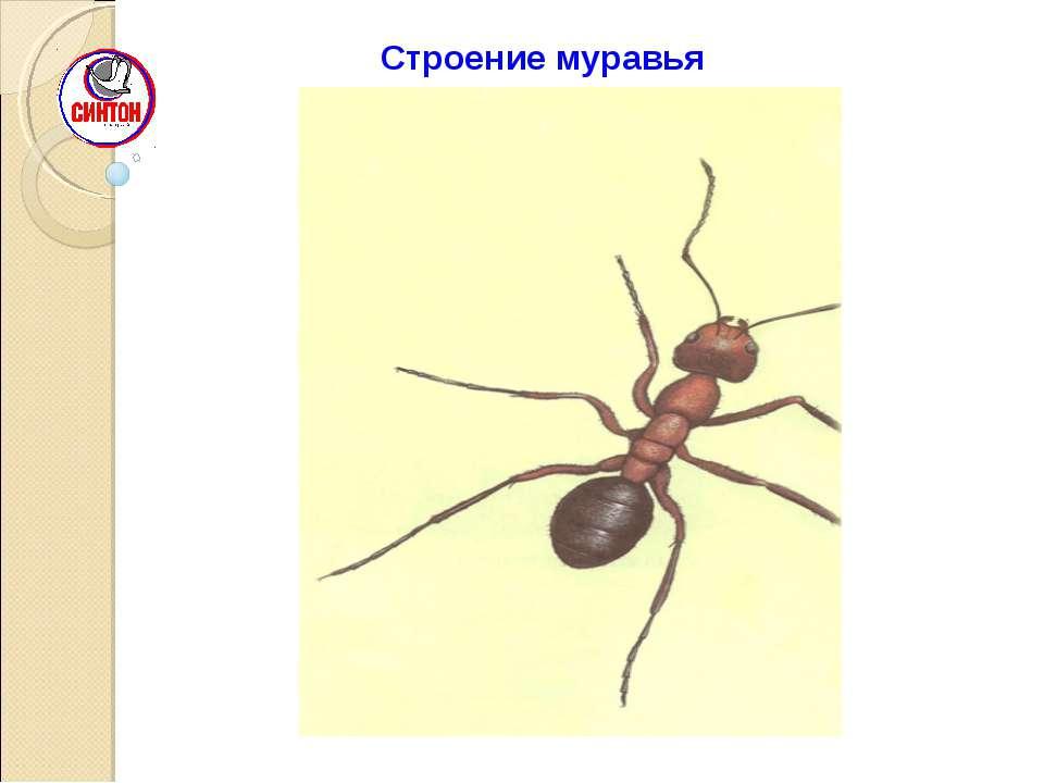 Строение муравья