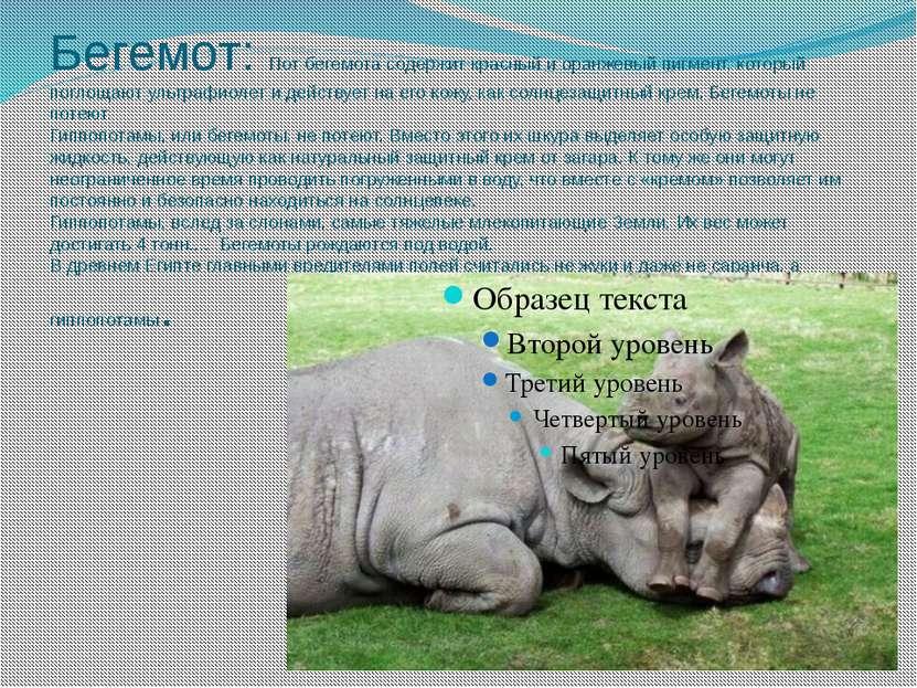 Бегемот: Пот бегемота содержит красный и оранжевый пигмент, который поглощают...