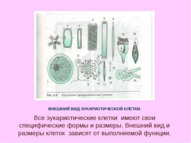 ВНЕШНИЙ ВИД ЭУКАРИОТИЧЕСКОЙ КЛЕТКИ. Все эукариотические клетки имеют свои спе...