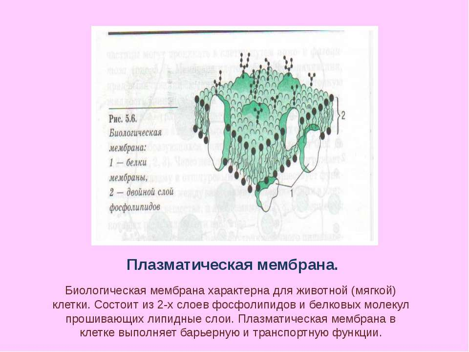 Плазматическая мембрана. Биологическая мембрана характерна для животной (мягк...