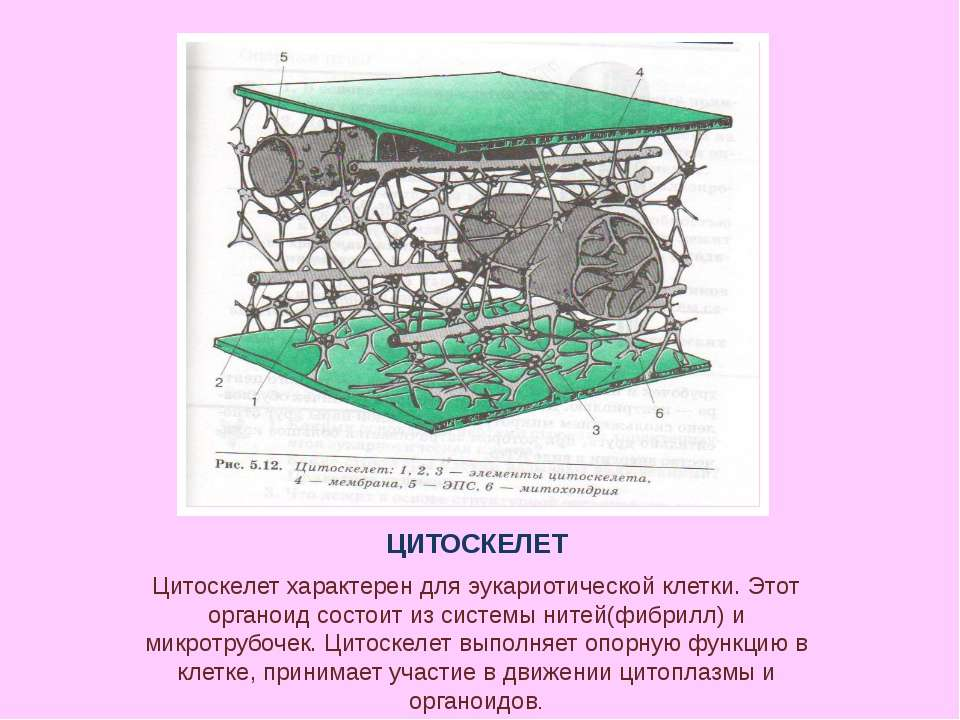 ЦИТОСКЕЛЕТ Цитоскелет характерен для эукариотической клетки. Этот органоид со...