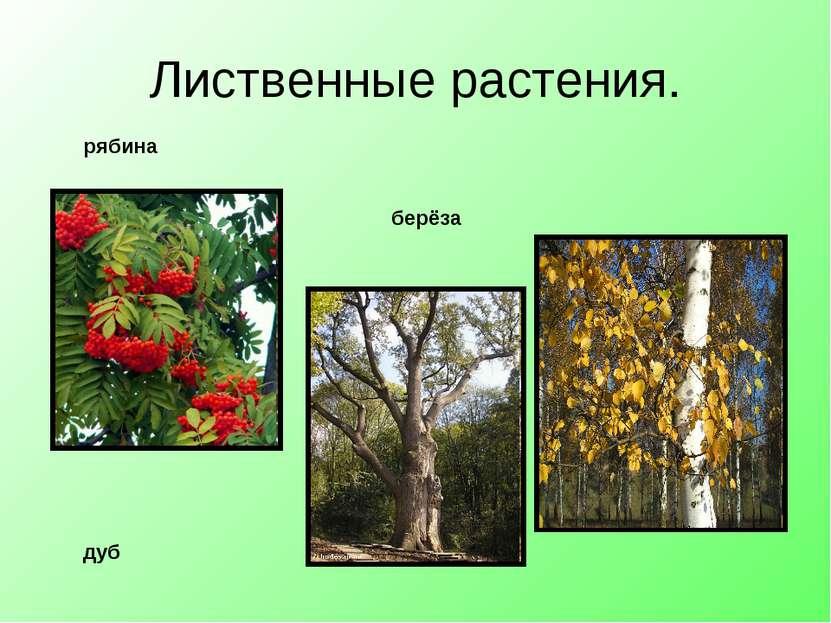 Лиственные растения. дуб берёза рябина