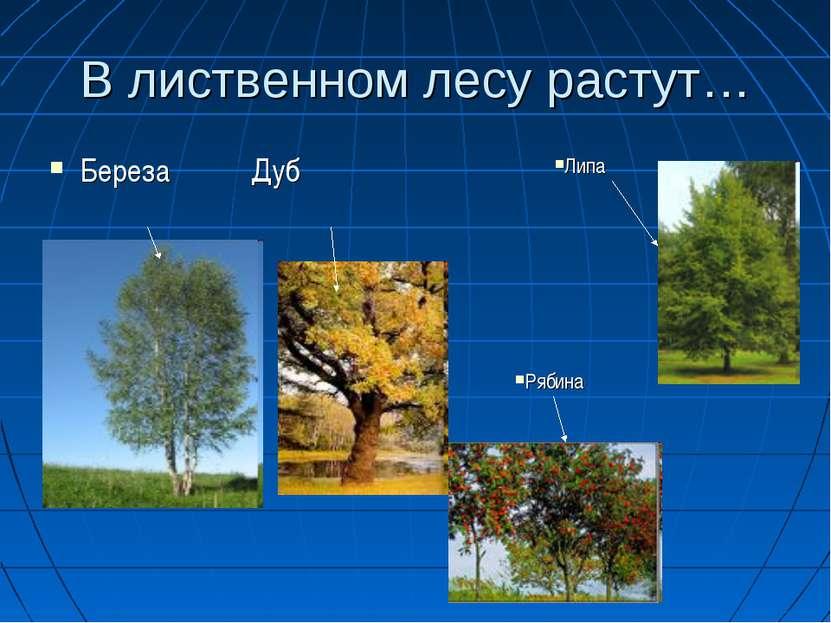 В лиственном лесу растут… Береза Дуб Рябина Липа