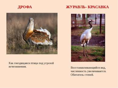 ДРОФА ЖУРАВЛЬ- КРАСАВКА Как гнездящаяся птица под угрозой исчезновения. Восст...