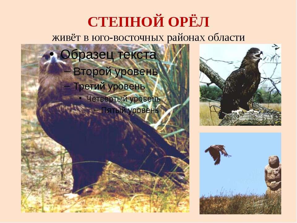 СТЕПНОЙ ОРЁЛ живёт в юго-восточных районах области