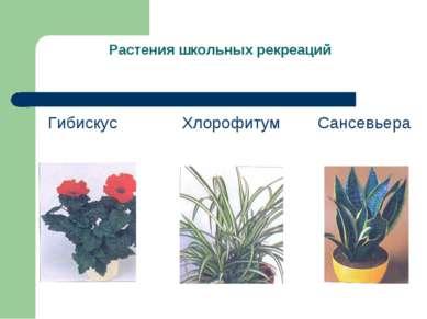 Растения школьных рекреаций Гибискус Хлорофитум Сансевьера