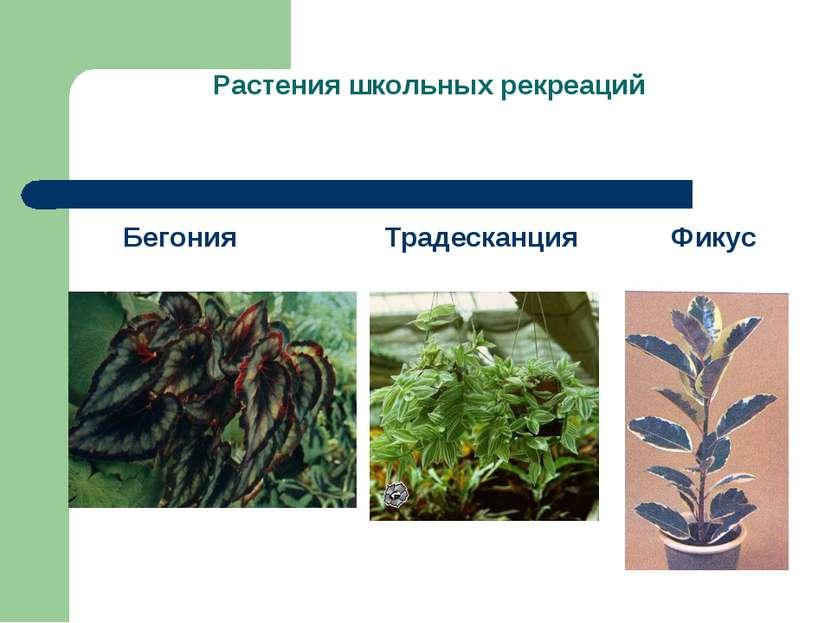 Растения школьных рекреаций Бегония Традесканция Фикус