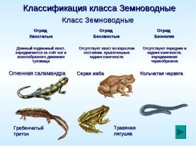 Классификация класса Земноводные Гребенчатый тритон Травяная лягушка Класс Зе...