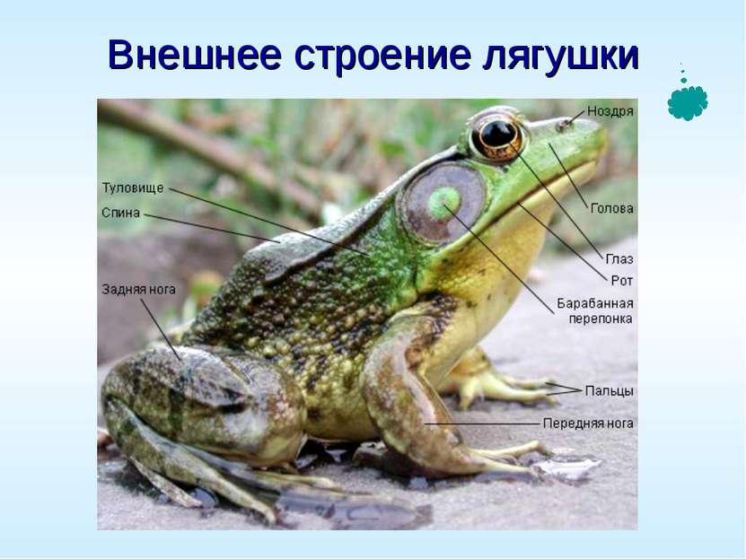 Презентации по биологии 7 класс на тему лягушки