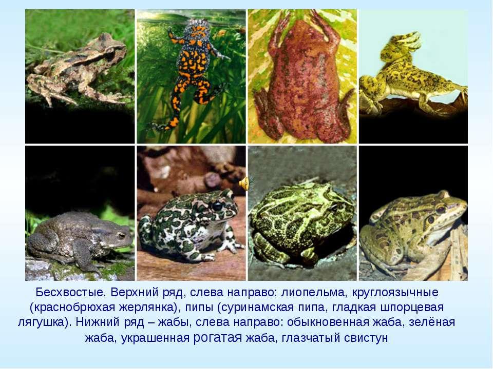 Бесхвостые. Верхний ряд, слева направо: лиопельма, круглоязычные (краснобрюха...