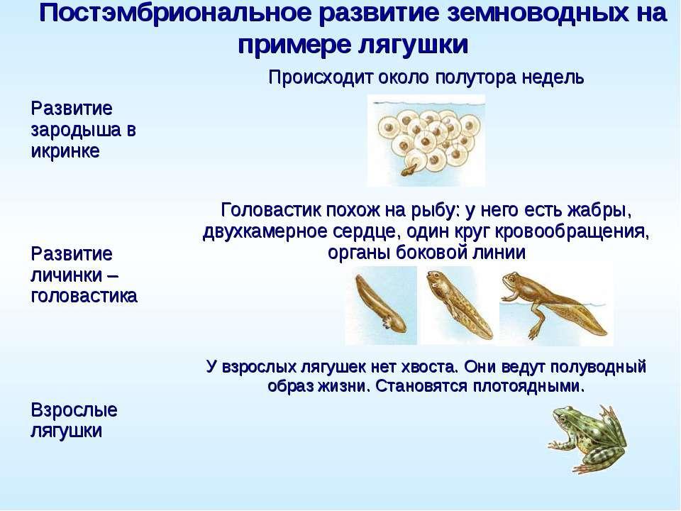Постэмбриональное развитие земноводных на примере лягушки Развитие зародыша в...