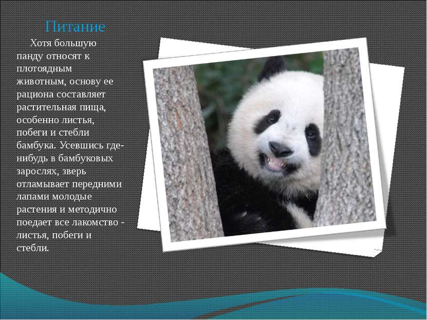 Питание Хотя большую панду относят к плотоядным животным, основу ее рациона с...