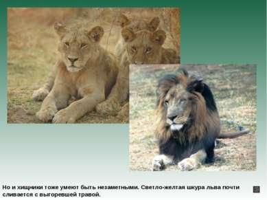 Но и хищники тоже умеют быть незаметными. Светло-желтая шкура льва почти слив...