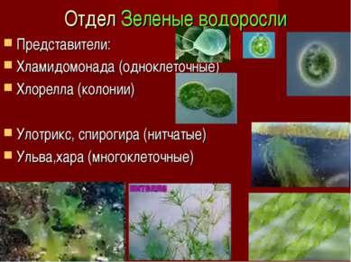 Отдел Зеленые водоросли Представители: Хламидомонада (одноклеточные) Хлорелла...