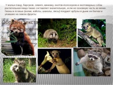 У малых панд, барсуков, олинго, кинкажу, енотов-полоскунов и енотовидных соб...