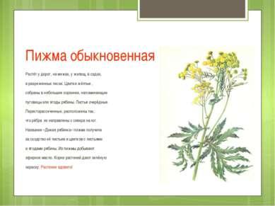 Пижма обыкновенная Растёт у дорог, на межах, у жилищ, в садах, в разреженных ...