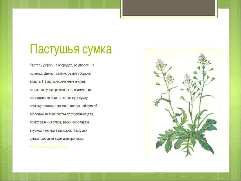 Пастушья сумка Растёт у дорог, на огородах, во дворах, на полянах. Цветки мел...