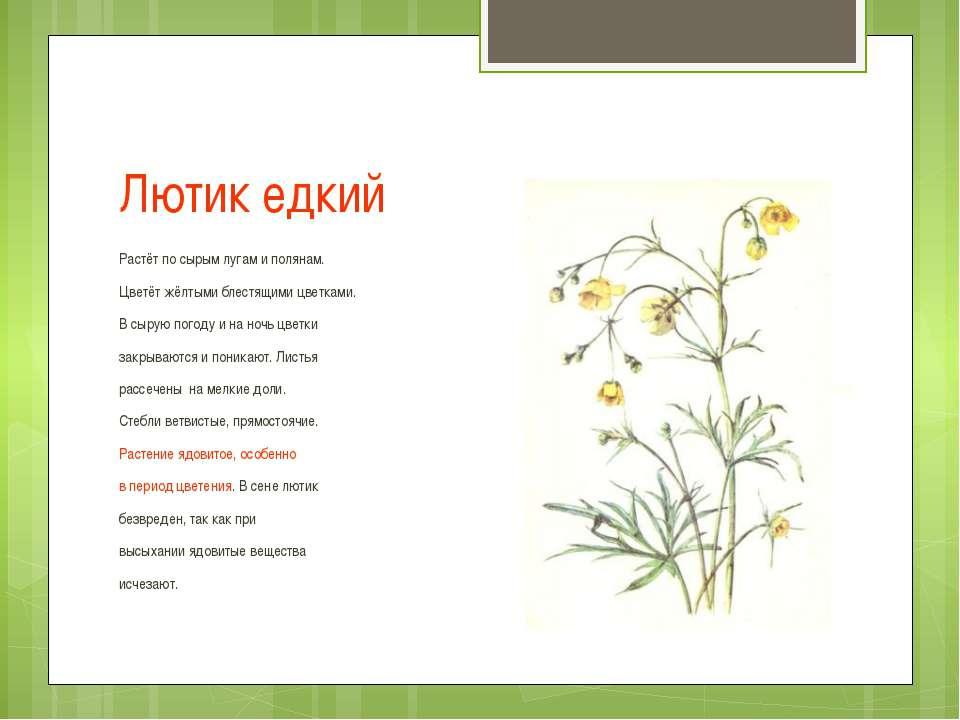 Лютик едкий Растёт по сырым лугам и полянам. Цветёт жёлтыми блестящими цветка...