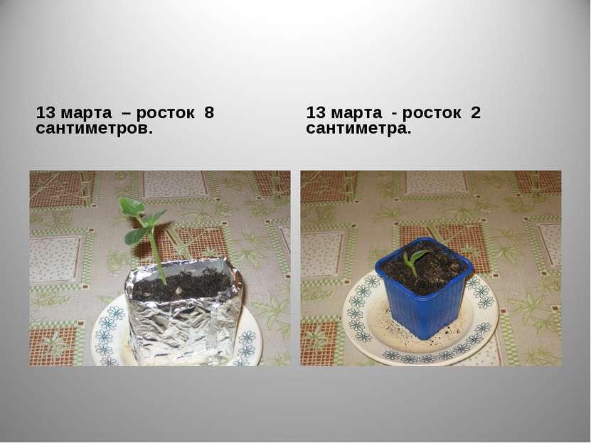 13 марта – росток 8 сантиметров. 13 марта - росток 2 сантиметра.
