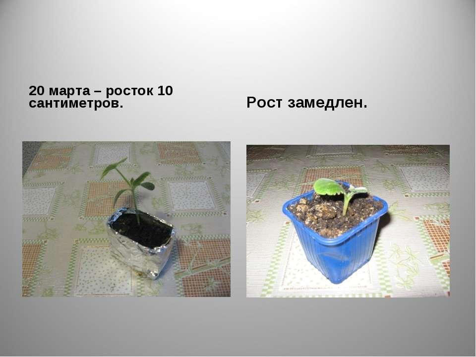 20 марта – росток 10 сантиметров. Рост замедлен.