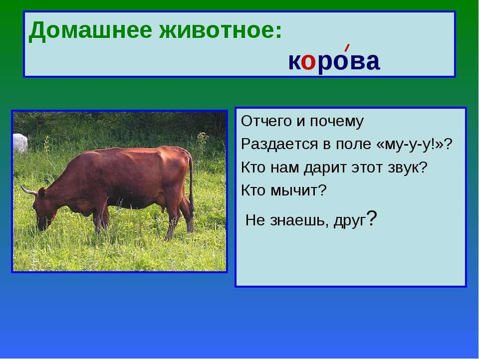 Домашнее животное: корова Отчего и почему Раздается в поле «му-у-у!»? Кто нам...
