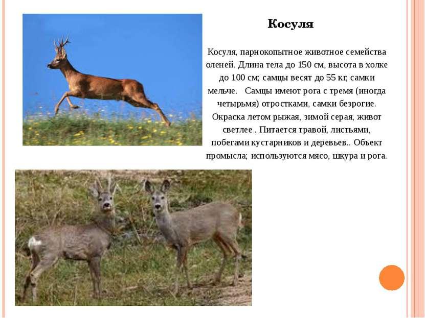 Косуля, парнокопытное животное семейства оленей. Длина тела до 150 см, высота...