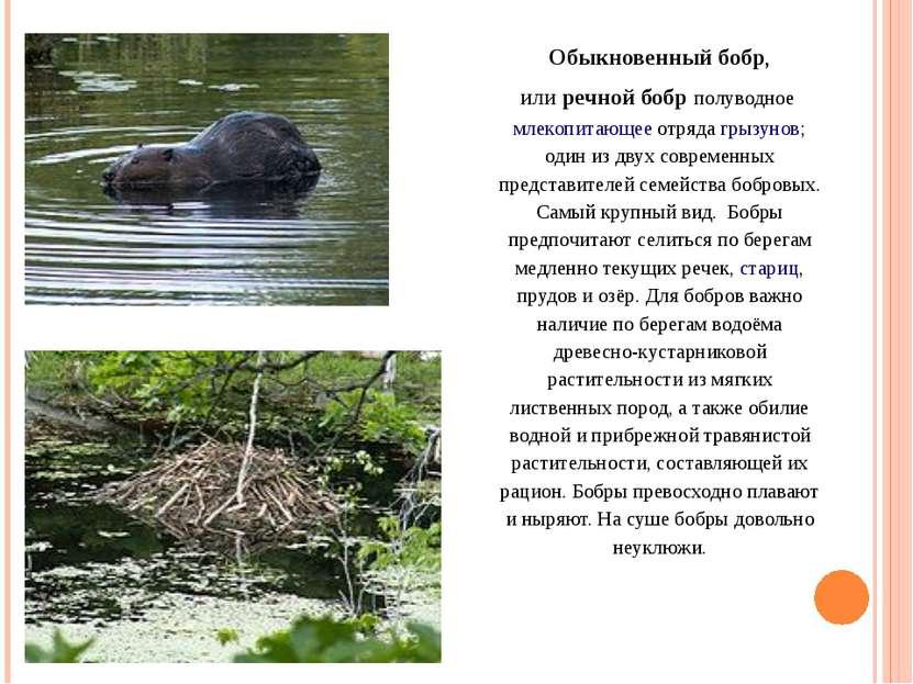 Обыкновенный бобр, илиречной бобр полуводноемлекопитающееотрядагрызунов; ...
