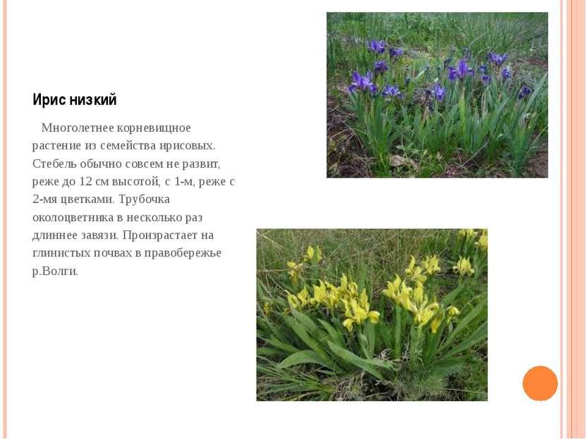Ирис низкий Многолетнее корневищное растение из семейства ирисовых. Стебель о...