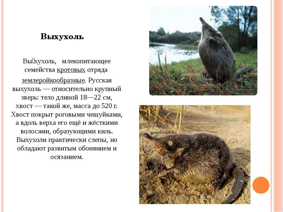 Вы хухоль, млекопитающее семействакротовыхотряда землеройкообразные. Русск...