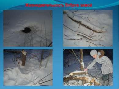 Жизнедеятельность бобров зимой