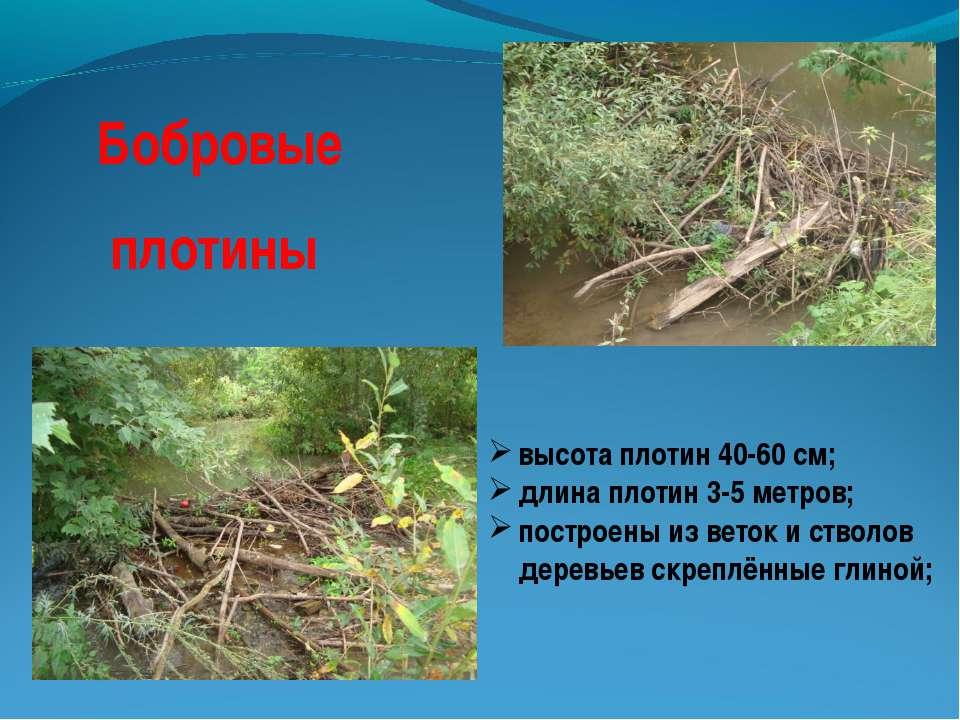 Бобровые плотины высота плотин 40-60 см; длина плотин 3-5 метров; построены и...