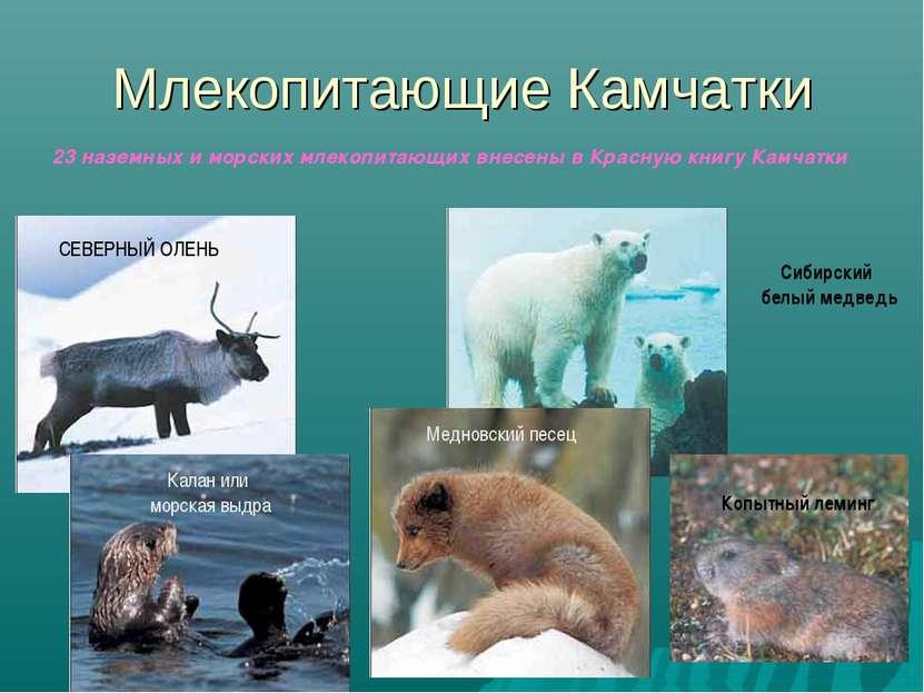 Млекопитающие Камчатки 23 наземных и морских млекопитающих внесены в Красную ...