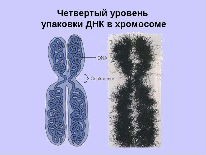 Четвертый уровень упаковки ДНК в хромосоме