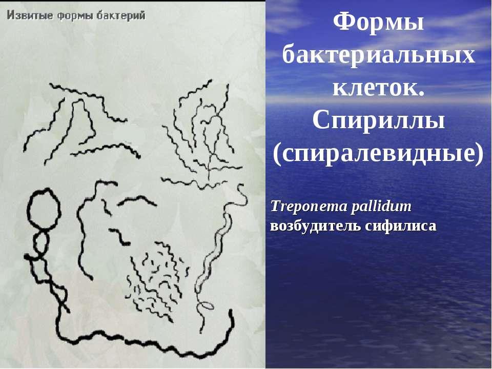 Формы бактериальных клеток. Спириллы (спиралевидные) Treponema pallidum возбу...